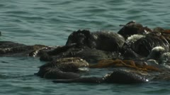 A sea otter floats on his back with friends. Stock Footage
