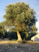 Olive tree in a hill of apulia Stock Photos