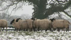 Sheep walking in the snow Stock Footage