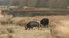 Bulls in a field Stock Footage