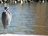 Blue heron stands in shallow water while preening feathers Stock Photos
