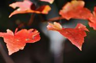 Orange autumn leaves macro Stock Photos