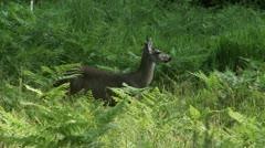 A deer in tall green grass. Stock Footage