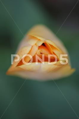 Stock photo of red tulips with yellow edges on dark background