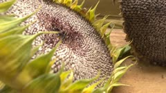 Sunflower and sunflower seeds v2 Stock Footage