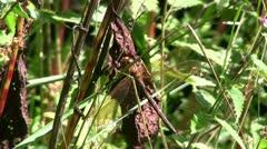 Brown Hawker Dragonfly feeding on a leaf Stock Footage
