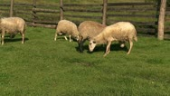 Stock Video Footage of Sheep eat 1