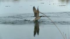 Geese In Dispute - stock footage