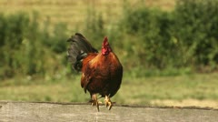 The rooster crows & standing - stock footage