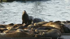 Sea Lions in Mock Battle Tussling on Astoria Docks Stock Footage