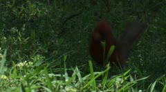 A red cardinal bird hops on the ground. - stock footage