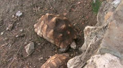 WILD Leopard tortoises Stock Footage
