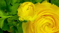 Yellow flower growing, persian buttercup Stock Footage
