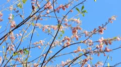 Pink flowering tree. Stock Footage