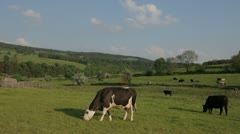 Herd of Cows Grazing in Picturesque English Rural Farm Landscape Stock Footage
