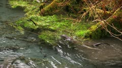 Otters frolic in a freshwater stream. Stock Footage