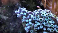 Stock Video Footage of Coral Time Lapse Polyps.mp4