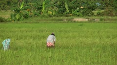 Harvesting ripe rice during the evening on Panay island in Philippines Stock Footage