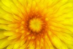 Bloom of dandelion Stock Photos