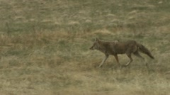 A coyote walks through the grass. Stock Footage