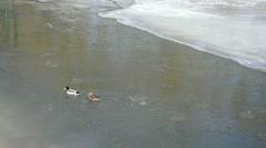mallard duck bird (anas platyrhynchos) swim winter river water - stock footage