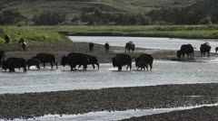 Buffalo cross a river in Yellowstone National park. Stock Footage
