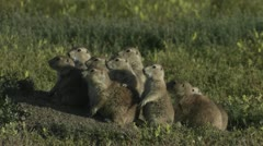 Uinta ground squirrels peer from their ground nest in Yellowstone National park. Stock Footage