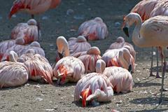 Chilean flamingo - pink waterbirds Stock Photos