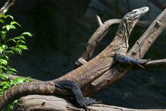 Komodo dragon is heated Stock Photos