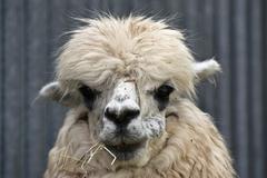 alpaca (vicugna pacos) - stock photo