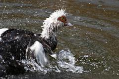 Muscovy ducks (carina moschata) Stock Photos