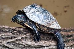 Red-eared slider turtle (trachemys scripta elegans) Stock Photos