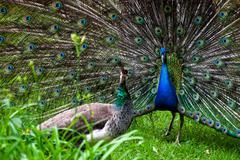 Peacock pair (pavo cristatus) Stock Photos