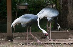 Two white-naped cranes (grus vipio) Stock Photos