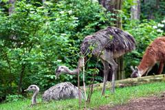 pair of emu (dromaius novaehollandiae) - stock photo