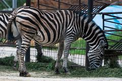 Zebra chapman (equus quagga chapmani) Stock Photos