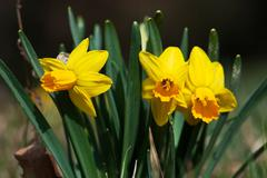 Stock Photo of cluster of yellow daffodils