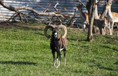mouflon (ovis musimon) - stock photo