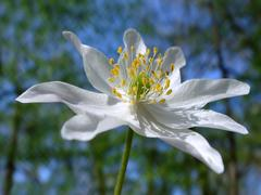 Wood anemone Stock Photos