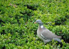 dove on the green. - stock photo