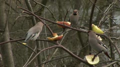 Waxwings in a tree England Stock Footage