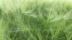 Swaying wheat in the breeze Stock Footage