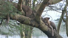 Lions in a tree Stock Footage