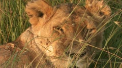 Lion face 2 Stock Footage