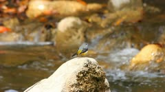 Birds that live in the waterfall. Stock Footage