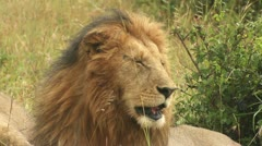 Adults lion licking paws 1 Stock Footage