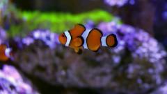 Clown Fish Reef - stock footage
