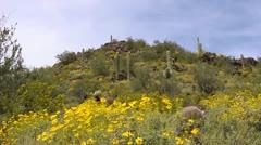 Arizona Spring Saguaros Stock Footage