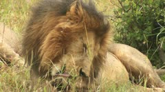 Adults lion licking paws 3 Stock Footage