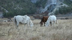 Horses grazing in the himalayas with mountains in the background. Stock Footage